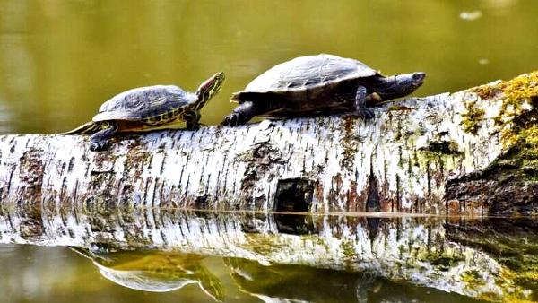 Image result for These Tiny Turtles Were Declared Extinct, but a Hindu Temple Has Brought Them Back to Life